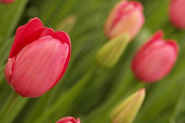 Eine schöne starke und mächtige Blume; die Tulpe! von As Janson
