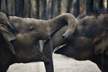 Spelende olifanten von Ben Klompen