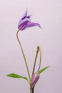 Clematis/bloem /flower/ geknakt /broken