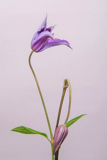 Clematis/bloem /flower/ geknakt /broken van Corinne Cornelissen-Megens