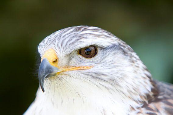 Roofvogel van Guido Akster
