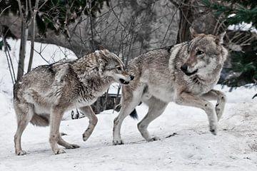 Wütende Wölfin knurrt das Männchen an von Michael Semenov