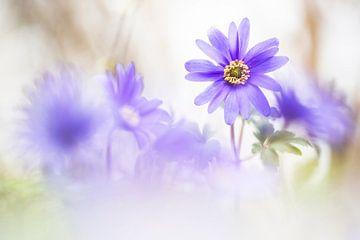 Magische Windflowers von