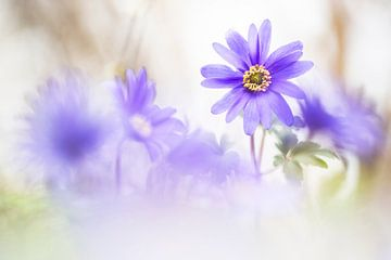 Windflowers magique sur Bob Daalder