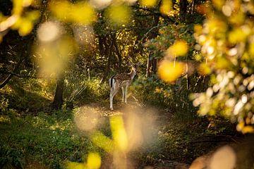 Wachsamer Damhirsch im Wald Oranjezon, Oostkapelle von Percy's fotografie