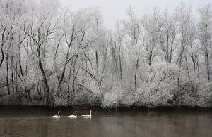 Knobbelzwanen in een berijpt rivierenlandschap. van Jacques van der Neut