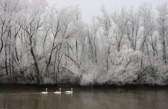 Knobbelzwanen in een berijpt rivierenlandschap.