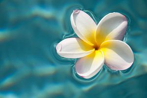 Plumeria / frangipani op blauw water van
