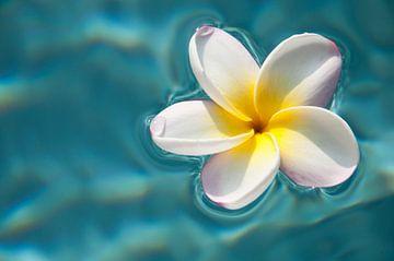 Plumeria / frangipani auf blauem Wasser von Ellis Peeters