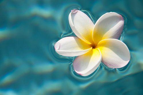 Plumeria / frangipani op blauw water