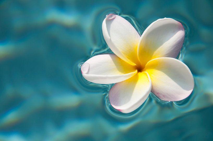 Plumeria / frangipanier sur l'eau bleue sur Ellis Peeters