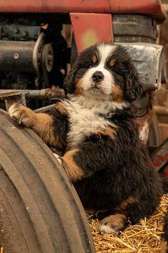 Berner Pup op Tractor wiel van Bob de Bruin