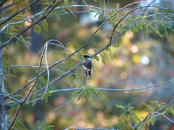 Hummingbird van
