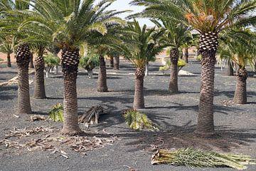 Palmboom kwekerij van Astrid Tomeij