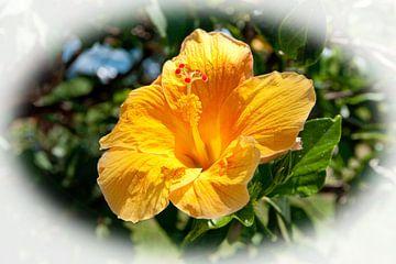 Oranje Hibiscus bloem van Bob de Bruin