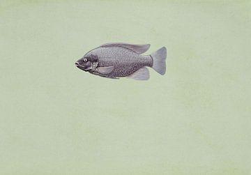 Tilapia oreochromis niloticus fish von Fish and Wildlife