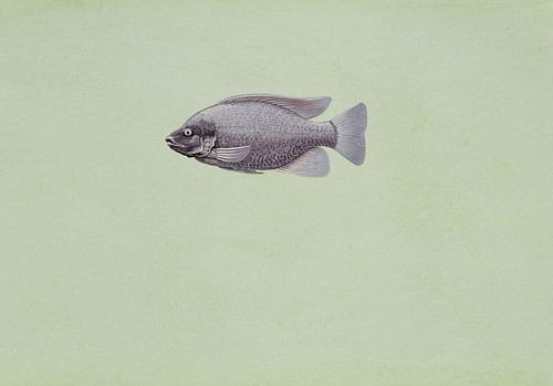 Oreochromis niloticus (Tilapia oreochromis niloticus fish) van