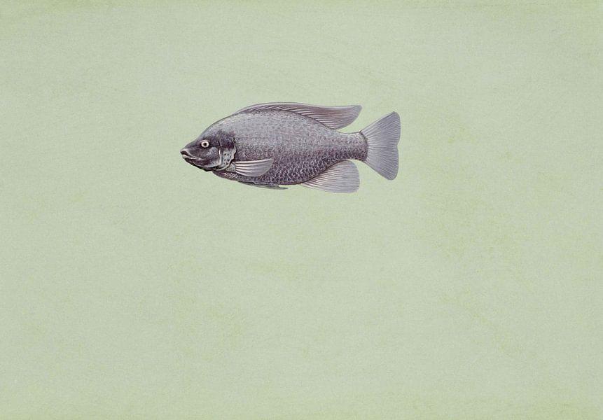 Oreochromis niloticus (Tilapia oreochromis niloticus fish)