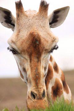 Gras etende giraf portret van Bobsphotography