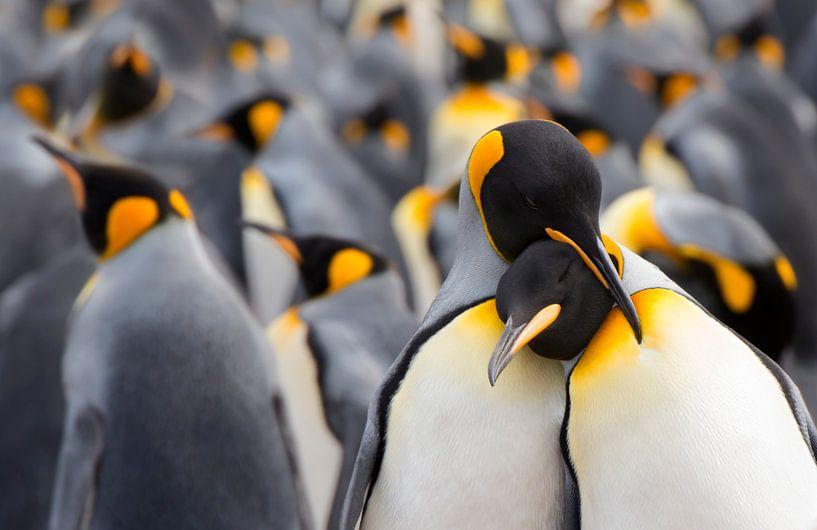 Twee Koningspinguïns (Aptenodytes patagonicus) in de kolonie van Nature in Stock