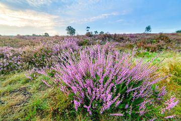 Blühende Heidekrautpflanzen im Naturschutzgebiet Veluwe von Sjoerd van der Wal
