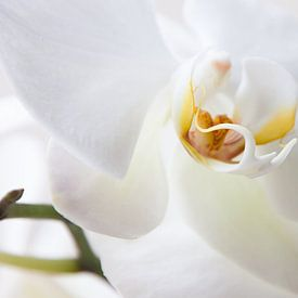 Witte Orchidee van Alied Kreijkes-van De Belt