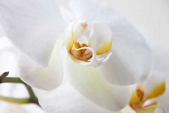 Witte Orchidee sur Alied Kreijkes-van De Belt