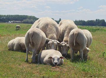 Schafe auf der Wiese von Micha Papenhuijzen