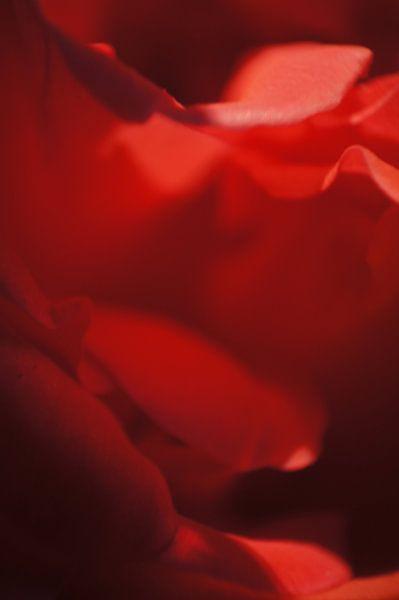 Rose III von Tina Hartung