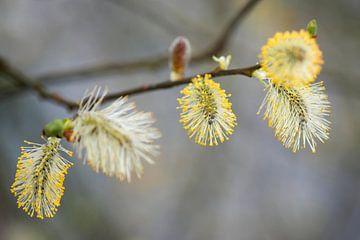 bloeiende wilgenkatjes met gele meeldraden van Hanneke Luit