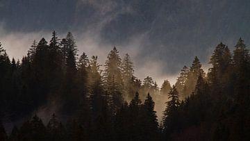 Brouillard dans une forêt de conifères