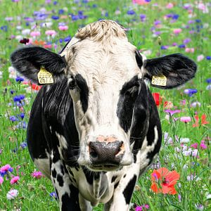 zwartbonte koe tussen de de wilde zomerbloemen van