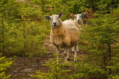 Nieuwsgierige schapen tijdens wandeling Noorwegen van