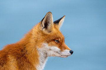 Fuchs gegen blauen Himmel von Ed Klungers