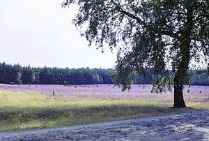 Birke am Wegesrand