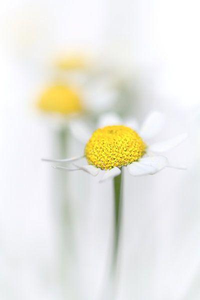 Kamille (2) (bloem, geel, licht, zomer) van Bob Daalder