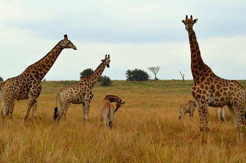 giraffen bilder auf leinwand poster bestellen ohmyprints. Black Bedroom Furniture Sets. Home Design Ideas