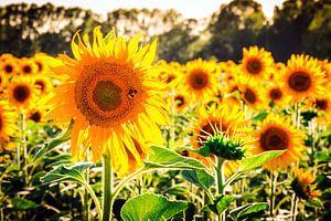 Toscaanse zonnebloemen