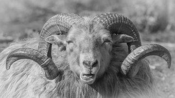 Drenthe-Heidekraut-Schafe von Jeannette Braamskamp