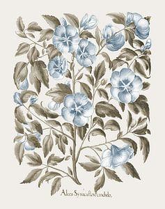 Basilikum Besler-weiße Rose von Sharon
