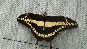 Een vlinder die tegen het rooster aanzit  van Wilbert Van Veldhuizen