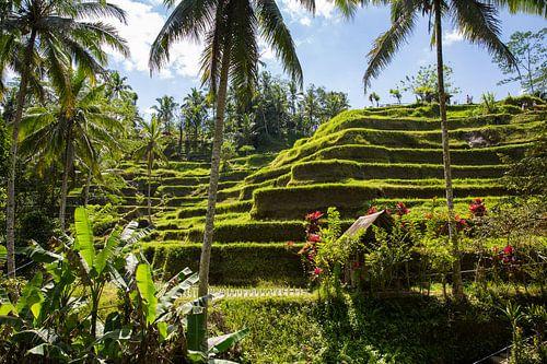 Rijstvelden in het binnenland van Bali