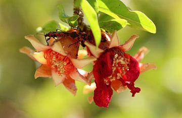 Besucher in der Granatapfelblüte von jan katuin