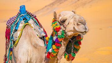 Kameel in de woestijn bij Aswan, Egypte van Jessica Lokker