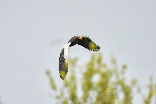 Steller zeearend vliegt over bomen, tegen een blauwe lucht.  1 Vleugel achter de boomtop. De roofvog