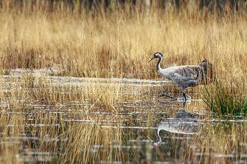 Kraanvogel in het moeras van Gert Gelmers