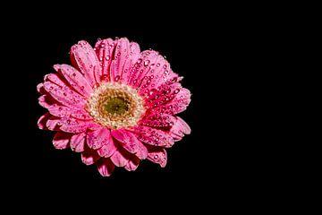 Blume mit Tropfen auf schwarzem Hintergrund von Liberty Ragazza Biesma