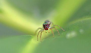 Salticidae Spinne I von Iris Volkmar