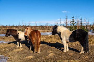 IJslandse paarden van Joke Beers-Blom