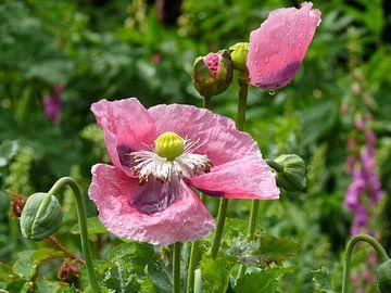 Pink Poppy van Barbara Hilmer-Schroeer
